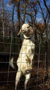 Goat in fencing - Minnesota