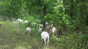 goat-herd-grazing