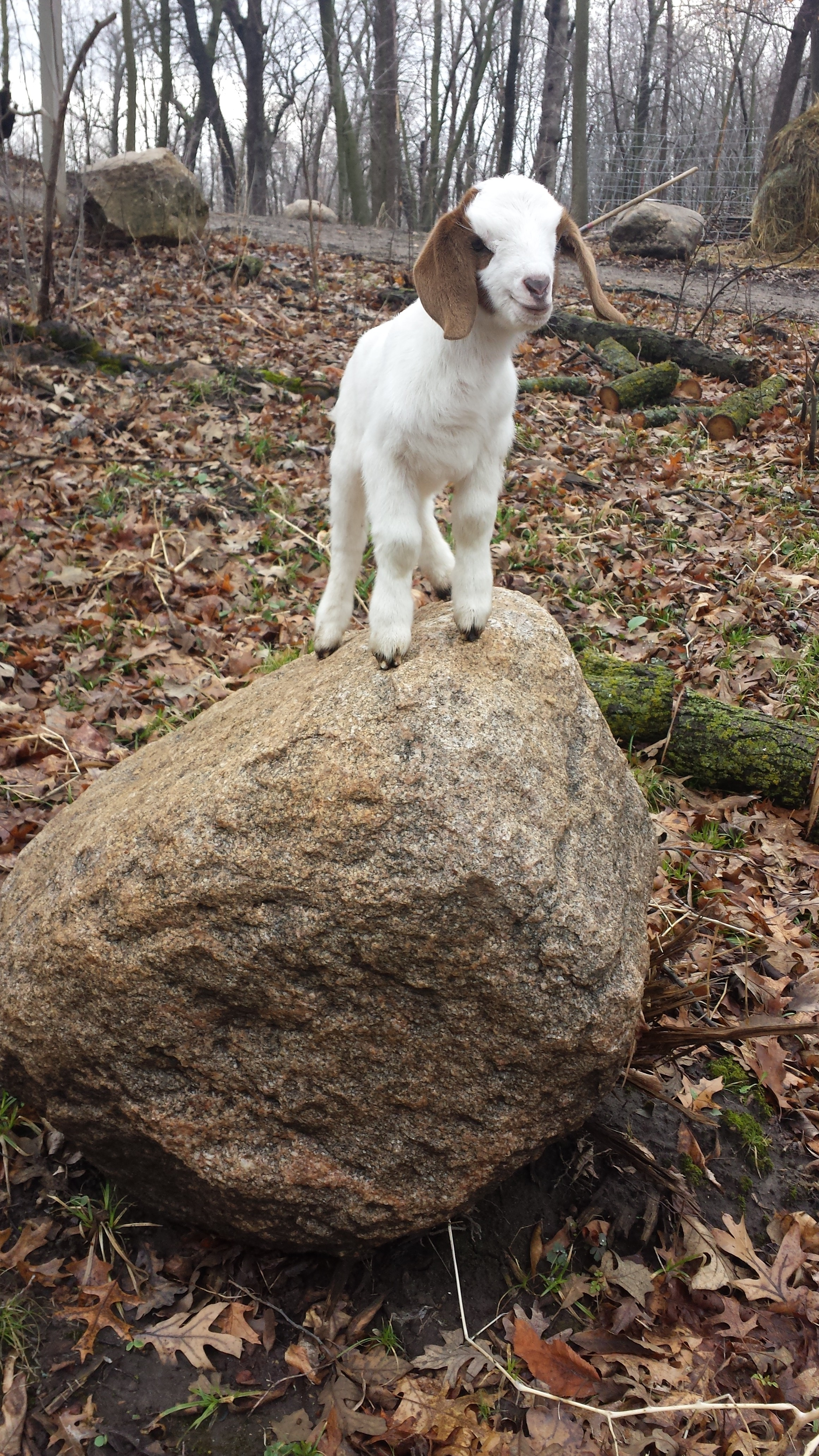 baby-goat-rock - Goat Dispatch - Minnesota Goat Rental ...