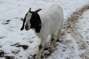 Black Betty - Goat for hire - Mellow Mamma