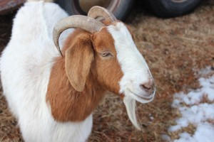 Patsy - Goat for Rent - Loves to shred bark with her horns!