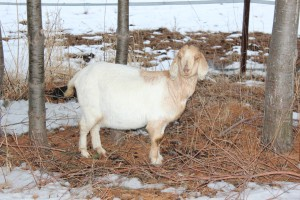 Sandy - Goat for Rent - Best looking pink eyelids in the herd!