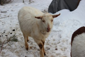 Speckles - Goat for rent - Gentle Wether!