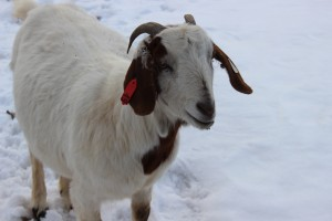 Waddle - Goat for hire - Nice coloration!